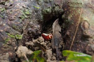 タテオビフサヒゲボタルの幼虫